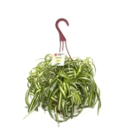 spider plant from lowes.com